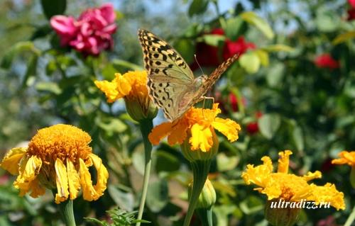 бабочка пандора на цветущей клумбе
