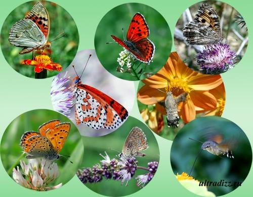 распространенные виды бабочек