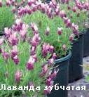 растения для сада фей