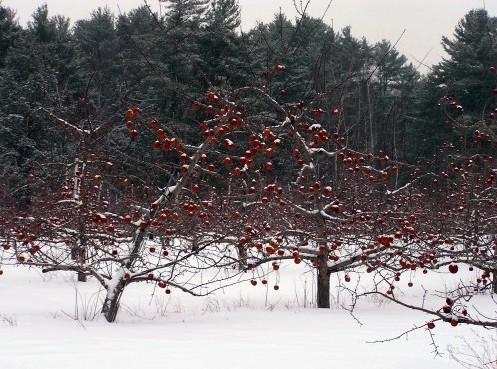 сад зимой с яркими плодами на деревьях