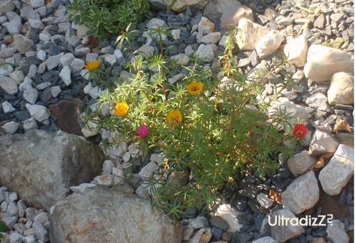 цветущие растения для альпинария