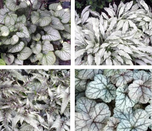 растения с серебристыми листьями для сада луны